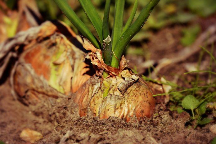 גידול ירקות בגן הנוי