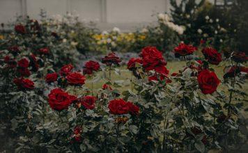 נטיעת ורדים