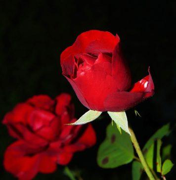גיזום ורדים בגן הנוי