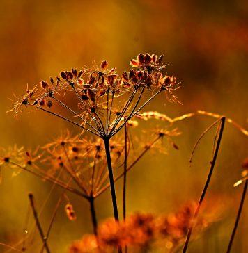 רשימת צמחים עמידים ליובש